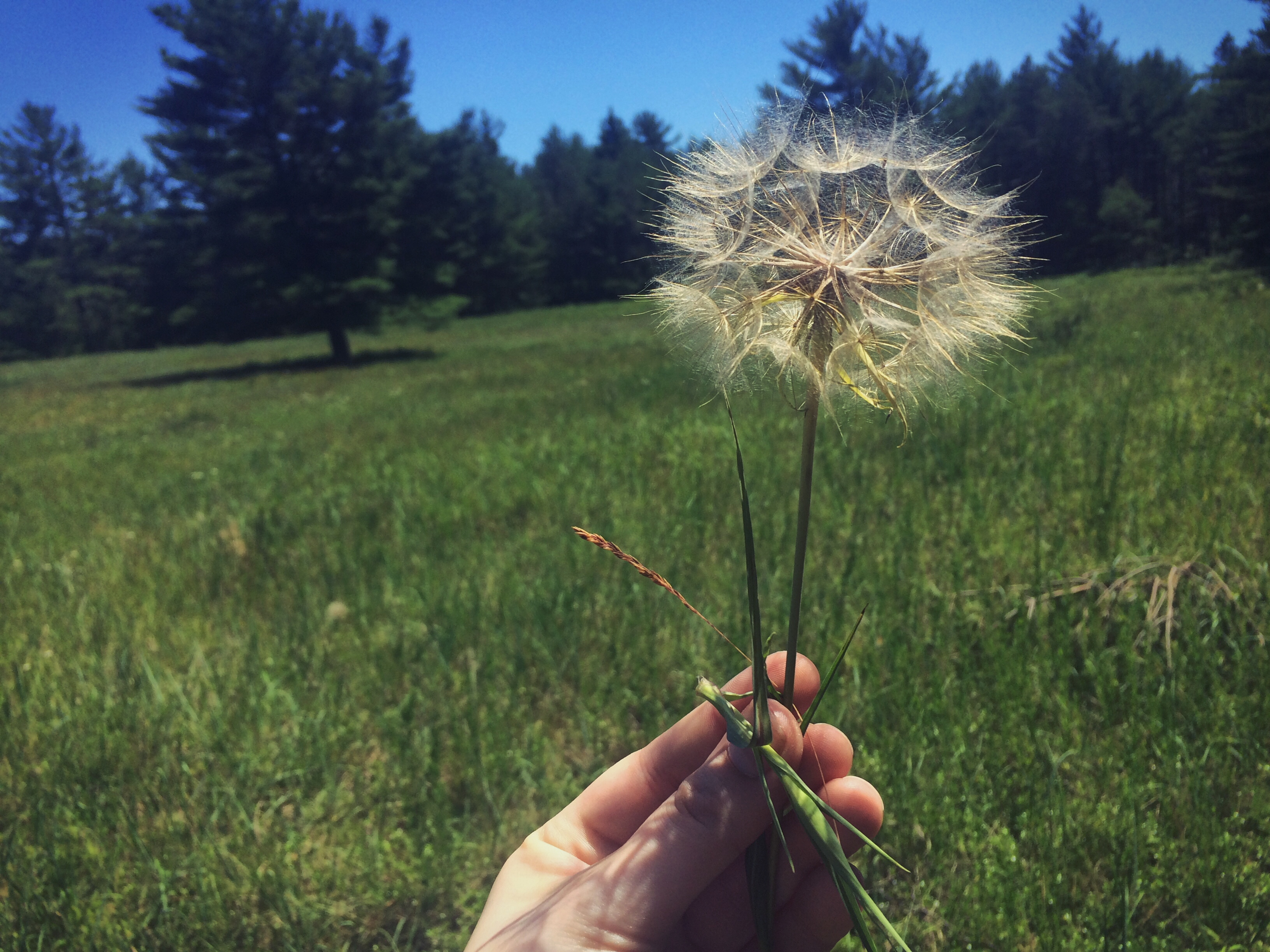 Dandelion in field near Round Pond in Myles Standish State Forest