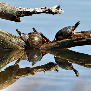 turtles in Myles Standish State Forest