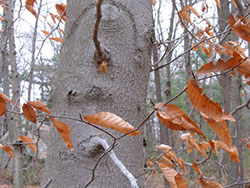 plant of pine barrens beech